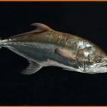 Akya Balığı ve Özellikleri